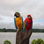 Zwei Aras am Ufer des Amazonas in Kolumbien bei Leticia